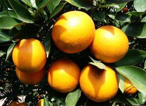 柑橘施肥的最佳实践