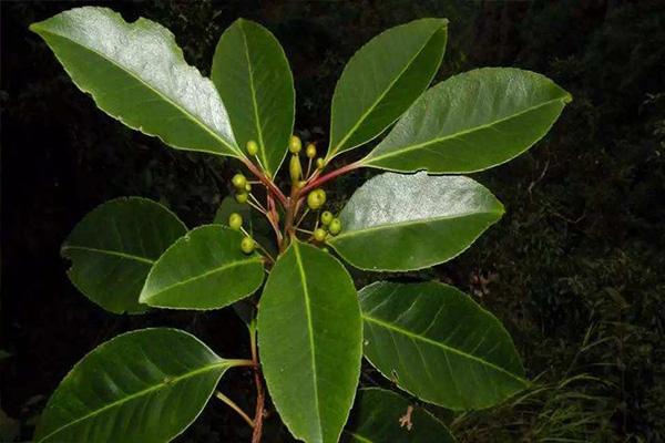 有机园艺_7 种最好的室内植物_橡皮植物