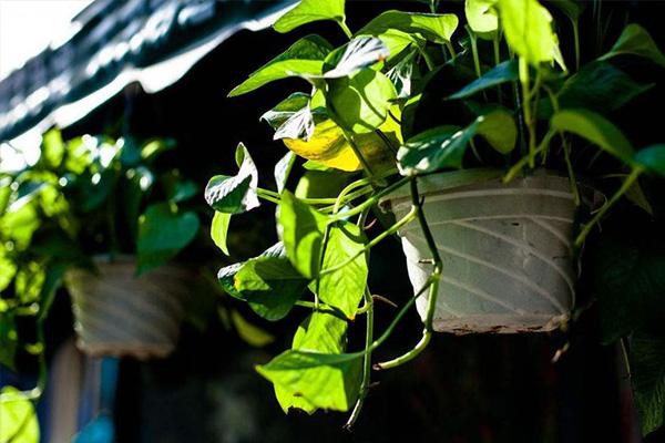 有机园艺_7 种最好的室内植物_绿萝