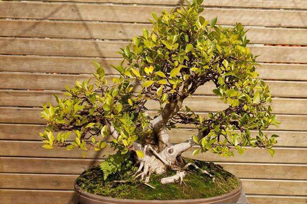 有机园艺_7 种最好的室内植物_小型榕属植物
