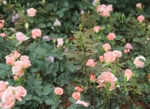 怎么给花卉植物施有机肥