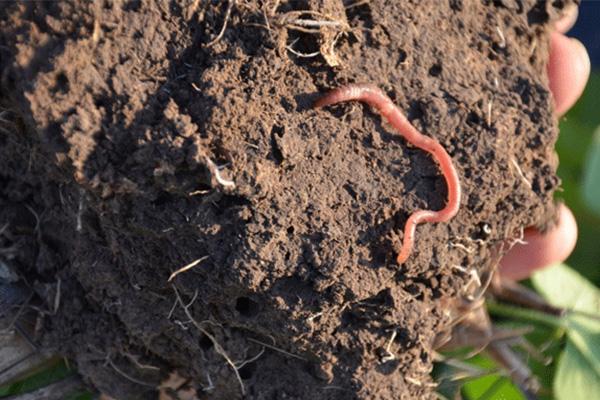 最好的土壤技术员-蚯蚓