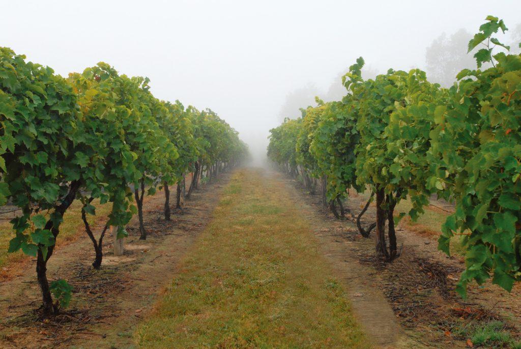成都绿康有机肥_葡萄种植不能忽视的细节