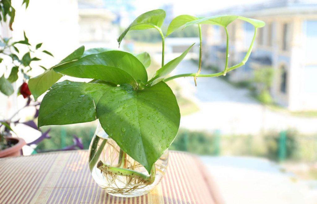 盘点三种又好养又能改善室内空气的植物_绿萝