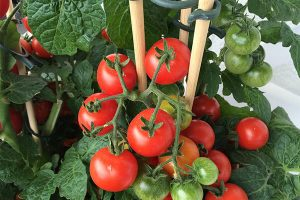 为什么用有机肥有的西红柿不生长?