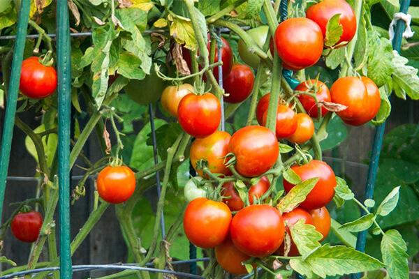 西红柿_有机肥